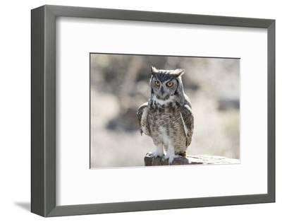 Arizona, Buckeye. Great Horned Owl Perched on House-Jaynes Gallery-Framed Photographic Print