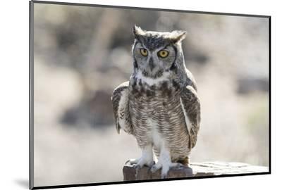 Arizona, Buckeye. Great Horned Owl Perched on House-Jaynes Gallery-Mounted Photographic Print