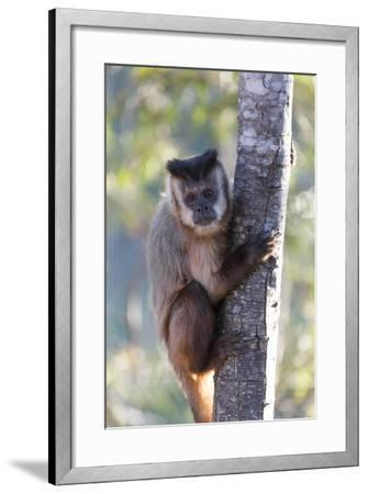 Brazil, Mato Grosso, the Pantanal. Brown Capuchin Monkey on a Tree-Ellen Goff-Framed Photographic Print