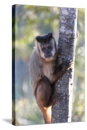 Brazil, Mato Grosso, the Pantanal. Brown Capuchin Monkey on a Tree-Ellen Goff-Stretched Canvas Print