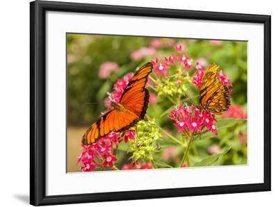 Central America, Costa Rica, Monteverde Cloud Forest Biological Reserve. Butterflies on Flower-Jaynes Gallery-Framed Photographic Print