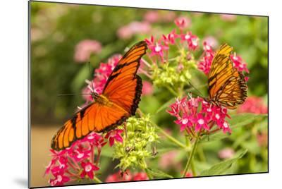 Central America, Costa Rica, Monteverde Cloud Forest Biological Reserve. Butterflies on Flower-Jaynes Gallery-Mounted Photographic Print