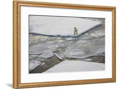 Norway, Svalbard, Spitsbergen. Polar Bear Stands on Sea Ice-Jaynes Gallery-Framed Photographic Print