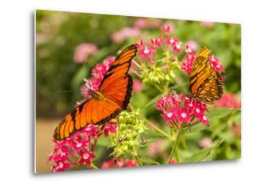 Central America, Costa Rica, Monteverde Cloud Forest Biological Reserve. Butterflies on Flower-Jaynes Gallery-Metal Print