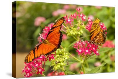 Central America, Costa Rica, Monteverde Cloud Forest Biological Reserve. Butterflies on Flower-Jaynes Gallery-Stretched Canvas Print
