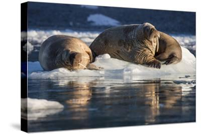 Norway, Svalbard, Spitsbergen. Walrus on Ice-Jaynes Gallery-Stretched Canvas Print