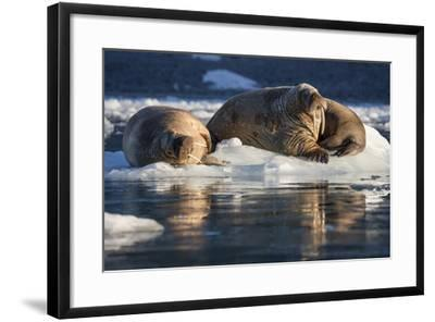 Norway, Svalbard, Spitsbergen. Walrus on Ice-Jaynes Gallery-Framed Photographic Print