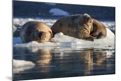 Norway, Svalbard, Spitsbergen. Walrus on Ice-Jaynes Gallery-Mounted Photographic Print