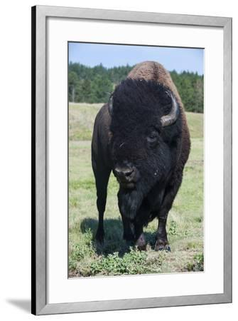 Buffaloes, South Dakota, Usa-Michael Runkel-Framed Photographic Print