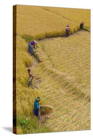 Bhutan, Punakha Region. Family and Neighbors Working Together to Harvest Rice-Brenda Tharp-Stretched Canvas Print