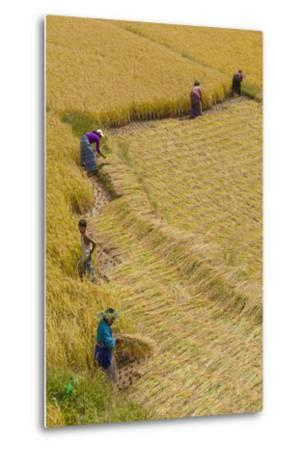 Bhutan, Punakha Region. Family and Neighbors Working Together to Harvest Rice-Brenda Tharp-Metal Print