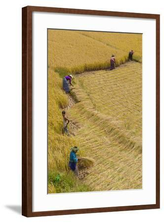 Bhutan, Punakha Region. Family and Neighbors Working Together to Harvest Rice-Brenda Tharp-Framed Photographic Print