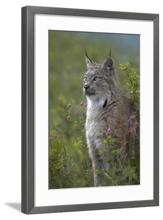 Canada Lynx Sitting Proud, Montana, Usa-Tim Fitzharris-Framed Photographic Print