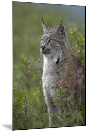 Canada Lynx Sitting Proud, Montana, Usa-Tim Fitzharris-Mounted Photographic Print