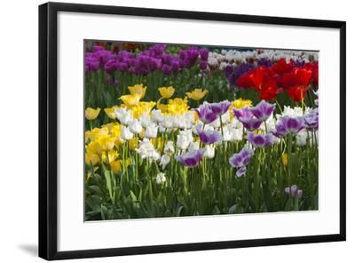 Multicolor Tulip Flowerbeds-Anna Miller-Framed Photographic Print