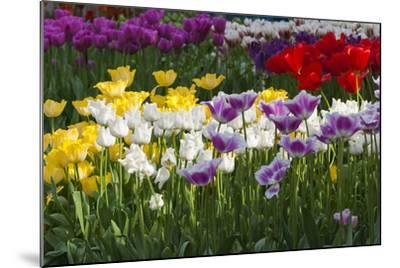 Multicolor Tulip Flowerbeds-Anna Miller-Mounted Photographic Print