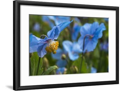 Iceland, Akureyri. Blue Poppies in the Botanical Garden Lystigaardur-Cindy Miller Hopkins-Framed Photographic Print