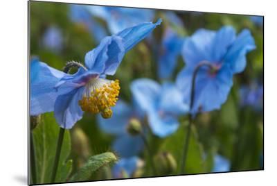 Iceland, Akureyri. Blue Poppies in the Botanical Garden Lystigaardur-Cindy Miller Hopkins-Mounted Photographic Print