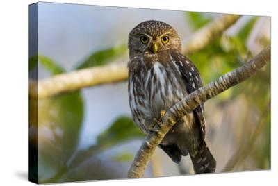 Brazil, Mato Grosso, the Pantanal, Ferruginous Pygmy Owl in a Tree-Ellen Goff-Stretched Canvas Print