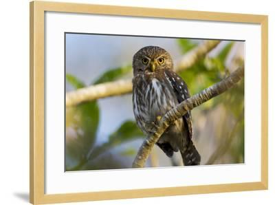 Brazil, Mato Grosso, the Pantanal, Ferruginous Pygmy Owl in a Tree-Ellen Goff-Framed Photographic Print