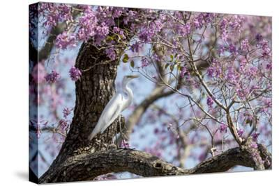 Brazil, Mato Grosso, the Pantanal, Transpantaneira Highway, Great Egret, Ipei Tree-Ellen Goff-Stretched Canvas Print