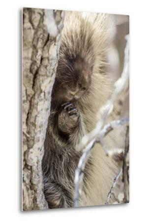 Wyoming, Sublette County, a Porcupine Peers from the Trunk of a Cottonwood Tree-Elizabeth Boehm-Metal Print