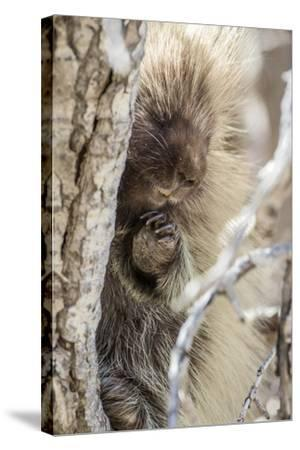 Wyoming, Sublette County, a Porcupine Peers from the Trunk of a Cottonwood Tree-Elizabeth Boehm-Stretched Canvas Print