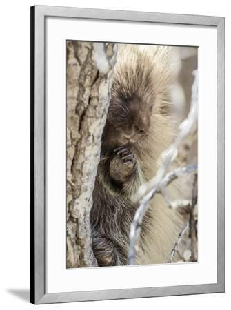 Wyoming, Sublette County, a Porcupine Peers from the Trunk of a Cottonwood Tree-Elizabeth Boehm-Framed Photographic Print