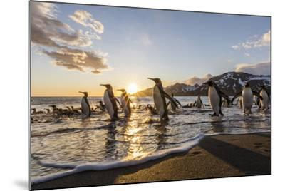 South Georgia Island, St. Andrew's Bay. King Penguins on Beach at Sunrise-Jaynes Gallery-Mounted Photographic Print
