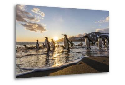 South Georgia Island, St. Andrew's Bay. King Penguins on Beach at Sunrise-Jaynes Gallery-Metal Print