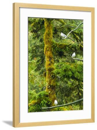Canada, British Columbia, Inside Passage. Mew Gulls in Tree-Jaynes Gallery-Framed Photographic Print