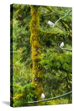 Canada, British Columbia, Inside Passage. Mew Gulls in Tree-Jaynes Gallery-Stretched Canvas Print