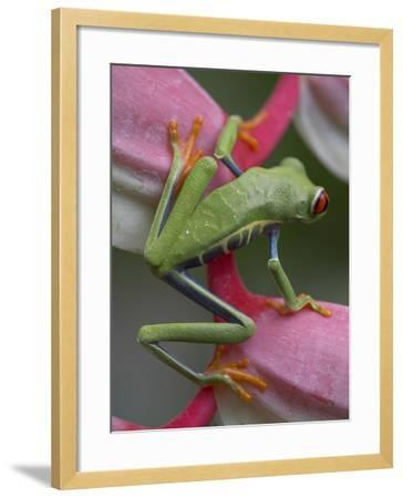 Red-Eyed Tree Frog, Costa Rica-Tim Fitzharris-Framed Photographic Print