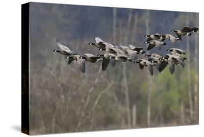 Lesser Cackling Canada Geese-Ken Archer-Stretched Canvas Print