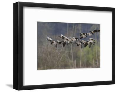 Lesser Cackling Canada Geese-Ken Archer-Framed Photographic Print