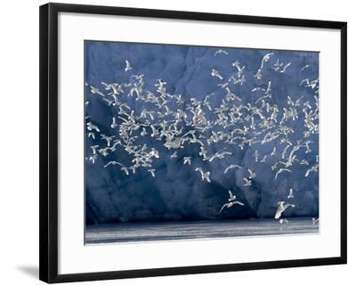 Arctic Ocean, Norway, Svalbard. Flying Kittiwake Birds and Glacier Face-Jaynes Gallery-Framed Photographic Print
