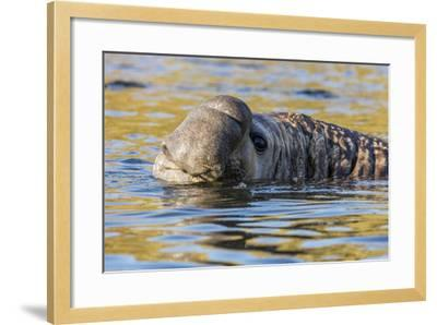South Georgia Island, Godthul. Close-Up of Male Elephant Seal in Water-Jaynes Gallery-Framed Photographic Print