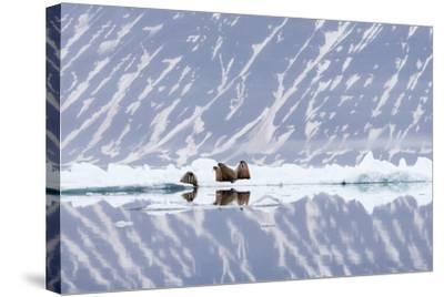 Norway, Svalbard, Pack Ice, Walrus on Ice Floes-Ellen Goff-Stretched Canvas Print