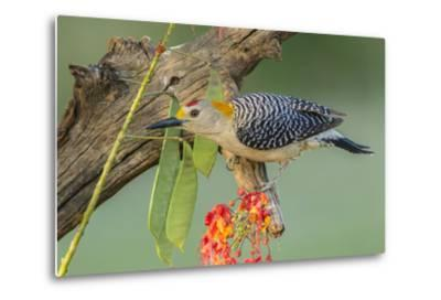 Texas, Hidalgo County. Golden-Fronted Woodpecker on Log-Jaynes Gallery-Metal Print