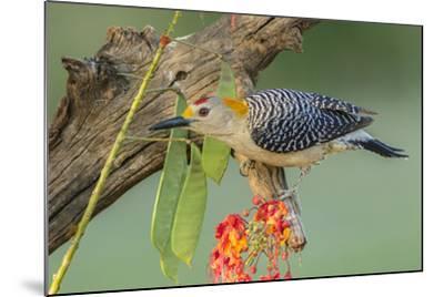 Texas, Hidalgo County. Golden-Fronted Woodpecker on Log-Jaynes Gallery-Mounted Photographic Print