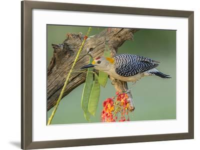 Texas, Hidalgo County. Golden-Fronted Woodpecker on Log-Jaynes Gallery-Framed Photographic Print