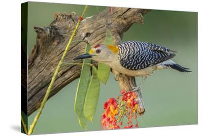 Texas, Hidalgo County. Golden-Fronted Woodpecker on Log-Jaynes Gallery-Stretched Canvas Print