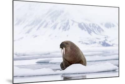 Arctic, Norway, Svalbard, Spitsbergen, Pack Ice, Walrus Walrus on Ice Floes  Photographic Print by Ellen Goff | Art com
