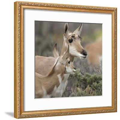 Pronghorn Doe with This Years Fawn, Grand Tetons National Park, Wyoming-Maresa Pryor-Framed Photographic Print