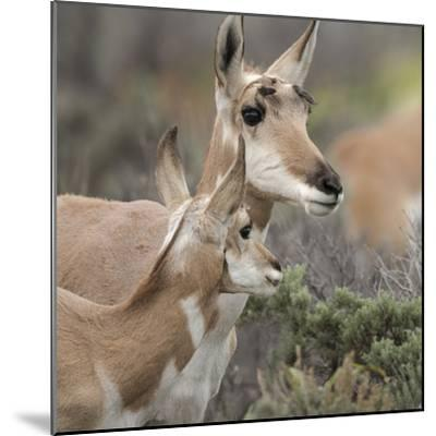 Pronghorn Doe with This Years Fawn, Grand Tetons National Park, Wyoming-Maresa Pryor-Mounted Photographic Print