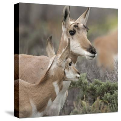Pronghorn Doe with This Years Fawn, Grand Tetons National Park, Wyoming-Maresa Pryor-Stretched Canvas Print