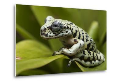 Tiger Tree Frog, Ecuador-Pete Oxford-Metal Print