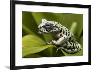Tiger Tree Frog, Ecuador-Pete Oxford-Framed Photographic Print