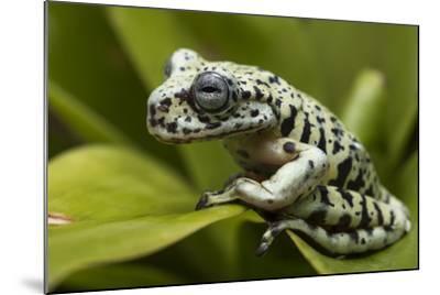 Tiger Tree Frog, Ecuador-Pete Oxford-Mounted Photographic Print