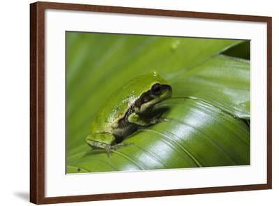 Andean Marsupial Tree Frog Froglet, Ecuador-Pete Oxford-Framed Photographic Print